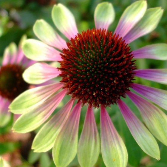 14 Colorful Coneflowers to Brighten Your Summer Garden Green Envy Coneflower #Coneflowers #Echinacea #Garden #Gardening #Landscape #SummerFlowers #LongBloomingFlowers #DroughtTolerant #HeatTolerant #NativePlants