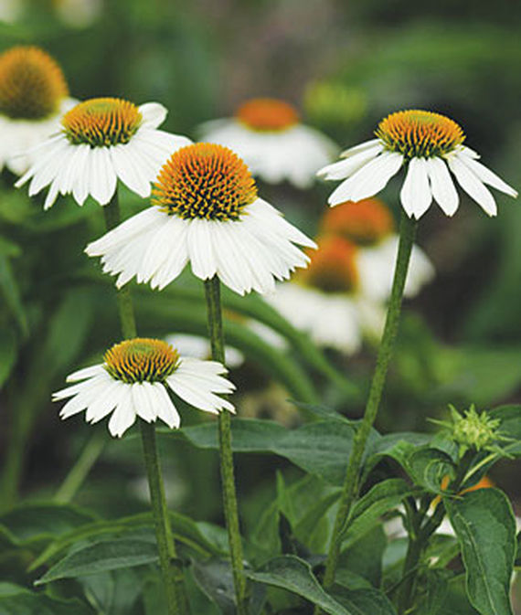 14 Colorful Coneflowers to Brighten Your Summer Garden Pow Wow White Echinacea #Coneflowers #Echinacea #Garden #Gardening #Landscape #SummerFlowers #LongBloomingFlowers #DroughtTolerant #HeatTolerant #NativePlants