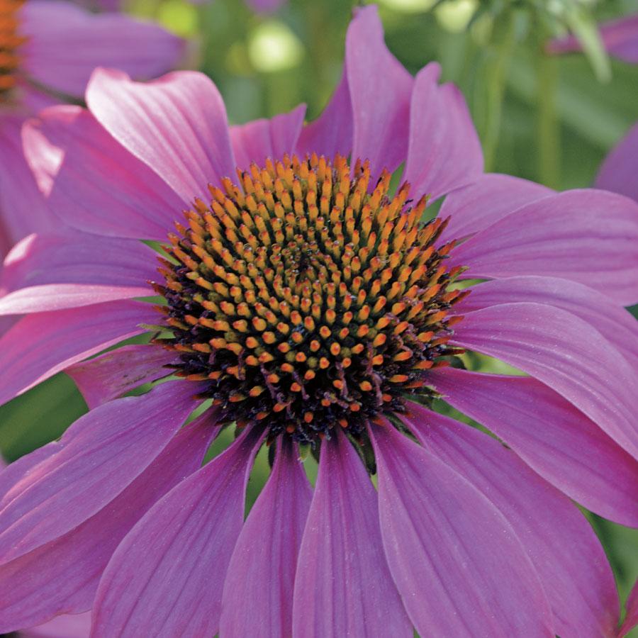 14 Colorful Coneflowers to Brighten Your Summer Garden Powwow Wild Berry Coneflower #Coneflowers #Echinacea #Garden #Gardening #Landscape #SummerFlowers #LongBloomingFlowers #DroughtTolerant #HeatTolerant #NativePlants