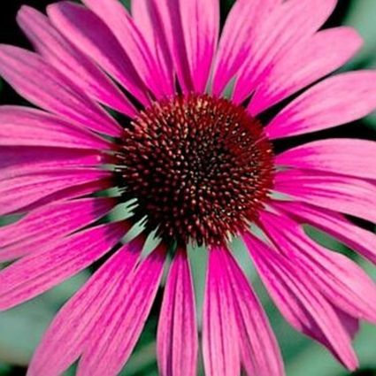 14 Colorful Coneflowers to Brighten Your Summer Garden Ruby Giant Coneflower #Coneflowers #Echinacea #Garden #Gardening #Landscape #SummerFlowers #LongBloomingFlowers #DroughtTolerant #HeatTolerant #NativePlants