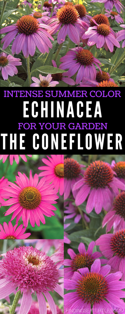 Colorful Coneflowers to Brighten Your Summer Garden #Gardening #SummerGarden #Coneflowers #Organic