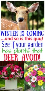 WINTER IS COMING - and so are hungry deer! See if your garden plants are on this list that they avoid #OrganicGardening #Gardening #Organic #DeerResistant #WhiteFlowerFarm