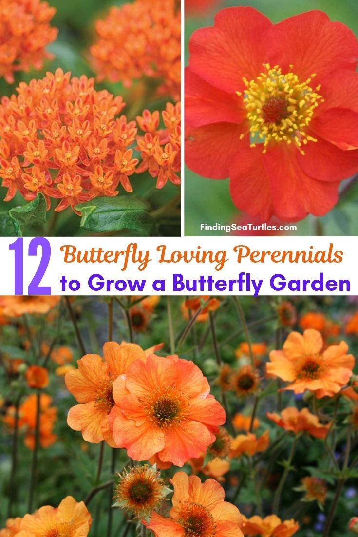 12 Butterfly Loving Perennials To Grow Butterfly Garden #Perennials #Garden #Gardening #Landscape #PerennialsForButterflies #Butterflies #Pollinators #GardenPollinators #ButterflyGarden