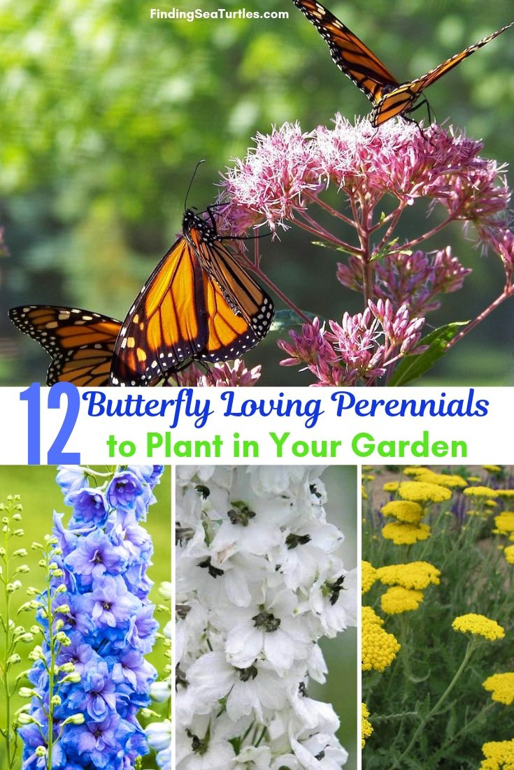 12 Butterfly Loving Perennials To Plant In Your Garden #Perennials #Garden #Gardening #Landscape #PerennialsForButterflies #Butterflies #Pollinators #GardenPollinators #ButterflyGarden