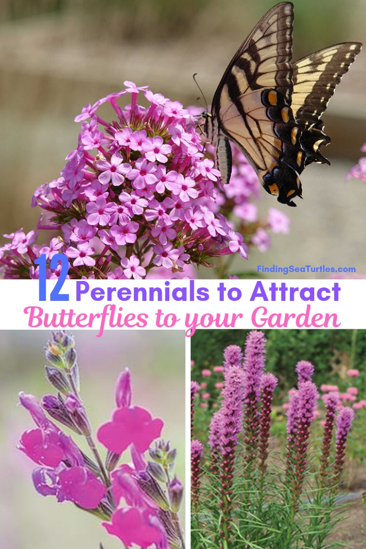 12 Perennials To Attract Butterflies To Your Garden #Perennials #Garden #Gardening #Landscape #PerennialsForButterflies #Butterflies #Pollinators #GardenPollinators #ButterflyGarden