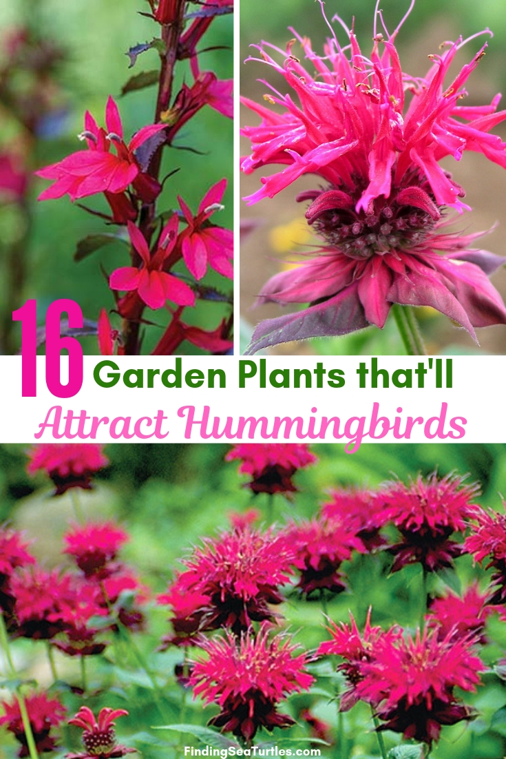 16 Garden Plants That'll Attract Hummingbirds #Perennials #Garden #Gardening #Landscape #PerennialsForHummingbirds #Hummingbirds #Pollinators #GardenPollinators