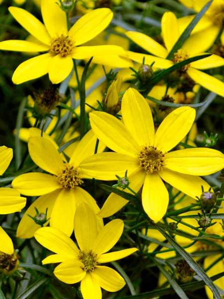 25 Drought Resistant Flower Of Hope Coreopsis #Garden #Gardening #Landscaping #DroughtResistant #DroughtTolerant #Perennials #DroughtResistantPerennials