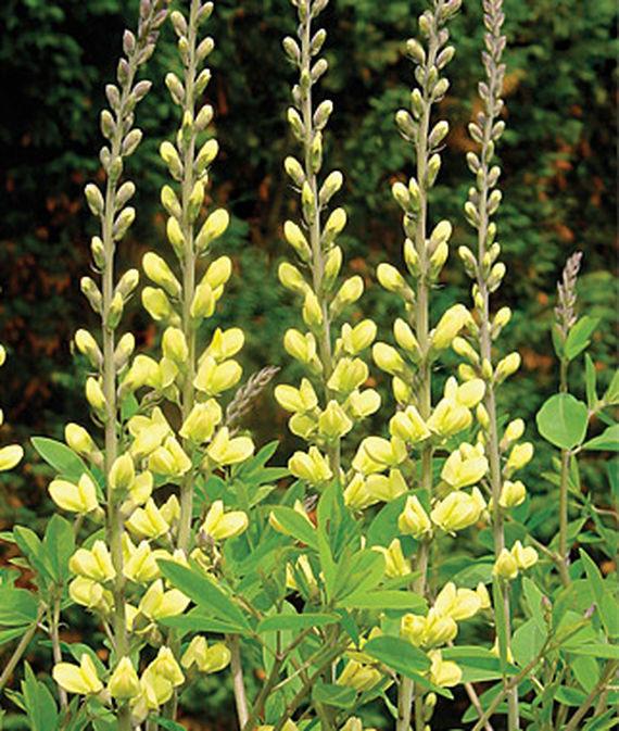 25 Drought Resistant Perennials