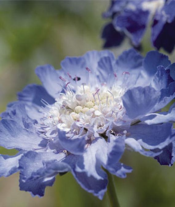 25 Drought Resistant Perennials Fama Deep Blue Scabiosa #Garden #Gardening #Landscaping #DroughtResistant #DroughtTolerant #Perennials #DroughtResistantPerennials