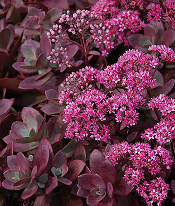 25 Drought Resistant Perennials Firecracker Sedum #Garden #Gardening #Landscaping #DroughtResistant #DroughtTolerant #Perennials #DroughtResistantPerennials