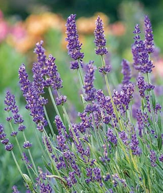 25 Drought Resistant Perennials Forever Blue Lavandula Angustifolia #Garden #Gardening #Landscaping #DroughtResistant #DroughtTolerant #Perennials #DroughtResistantPerennials