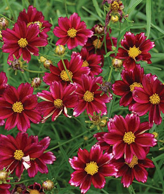 25 Drought Resistant Perennials Mercury Rising Coreopsis #Garden #Gardening #Landscaping #DroughtResistant #DroughtTolerant #Perennials #DroughtResistantPerennials