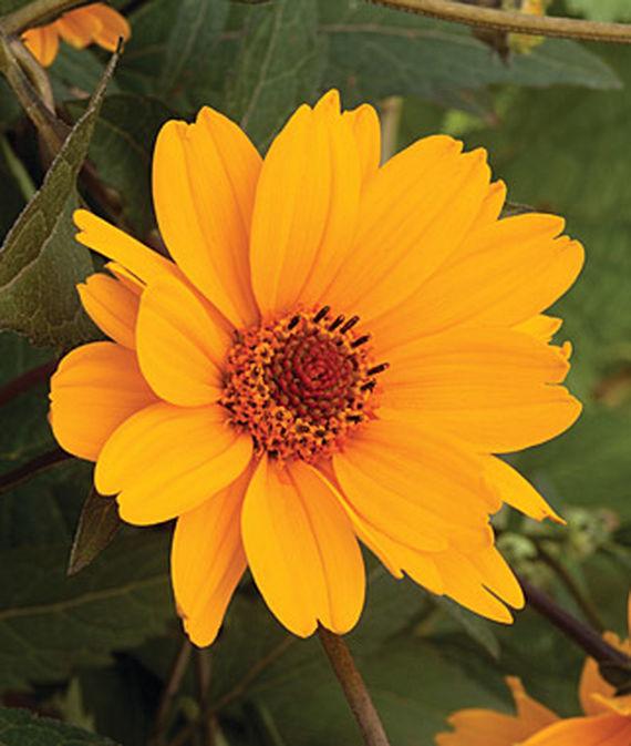 25 Drought Resistant Perennials Sweet Sunshine Helianthoides #Garden #Gardening #Landscaping #DroughtResistant #DroughtTolerant #Perennials #DroughtResistantPerennials