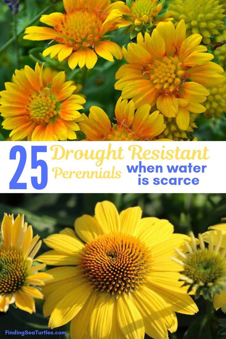 25 Drought Resistant Perennials When Water Is Scarce #Garden #Gardening #Landscaping #DroughtResistant #DroughtTolerant #Perennials #DroughtResistantPerennials