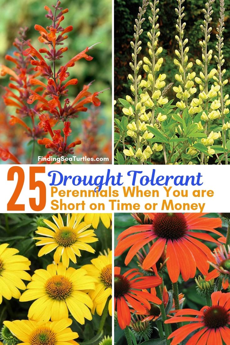 25 Drought Tolerant Perennials When You Are Short On Time Or Money #Garden #Gardening #Landscaping #DroughtResistant #DroughtTolerant #Perennials #DroughtResistantPerennials