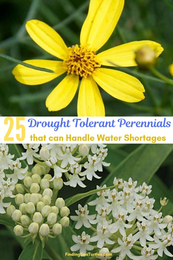 25 Drought Tolerant Perennials That Can Handle Water Shortages #Garden #Gardening #Landscaping #DroughtResistant #DroughtTolerant #Perennials #DroughtResistantPerennials