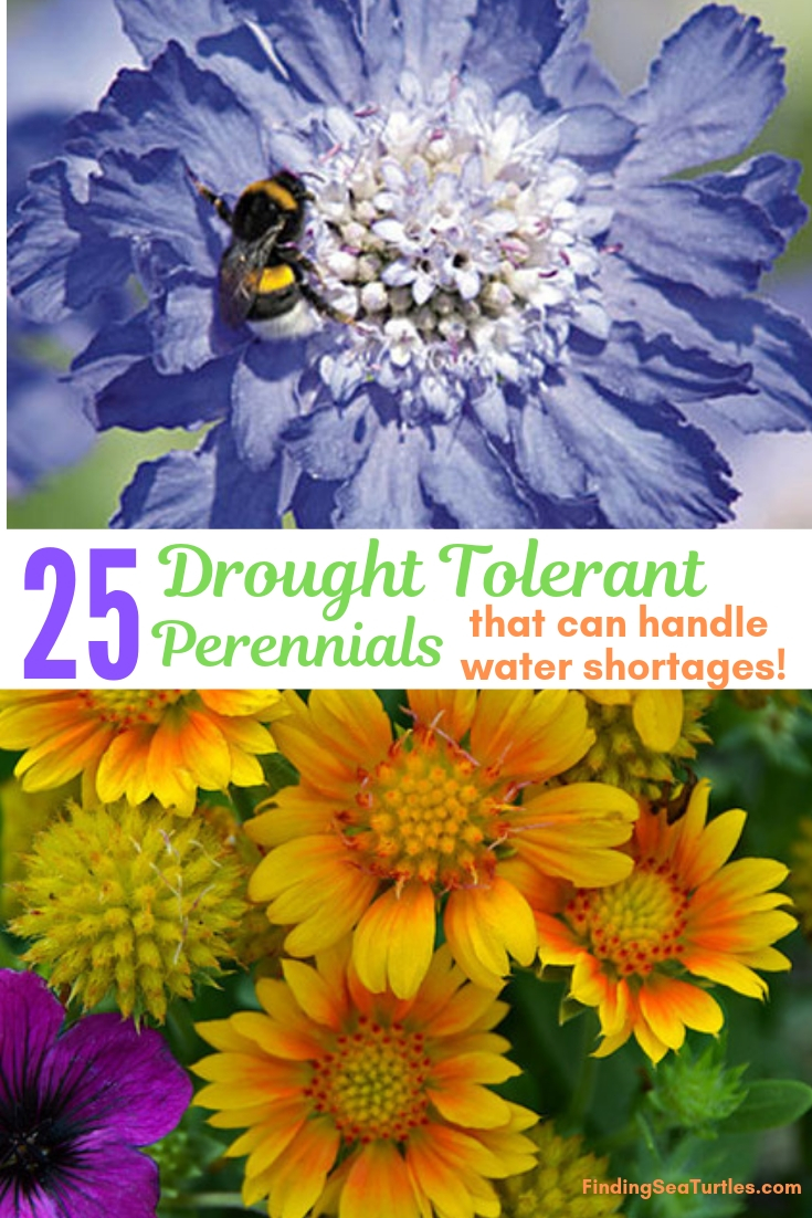 25 Drought Tolerant Perennials That Can Handle Water Shortages! #Garden #Gardening #Landscaping #DroughtResistant #DroughtTolerant #Perennials #DroughtResistantPerennials #Garden #Gardening #Landscaping #DroughtResistant #DroughtTolerant #Perennials #DroughtResistantPerennials