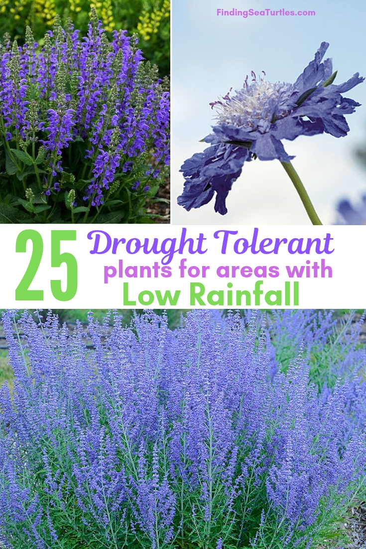 25 Drought Tolerant Plants For Areas With Low Rainfall #Garden #Gardening #Landscaping #DroughtResistant #DroughtTolerant #Perennials #DroughtResistantPerennials