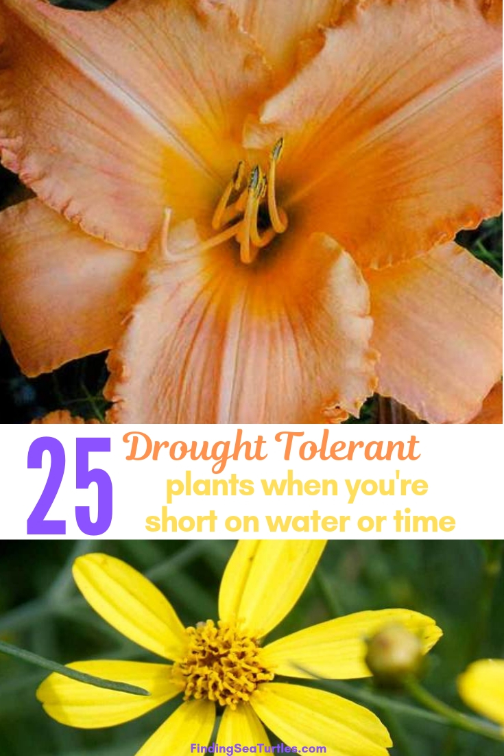 25 Drought Tolerant Plants When You're Short On Water Or Time #Garden #Gardening #Landscaping #DroughtResistant #DroughtTolerant #Perennials #DroughtResistantPerennials