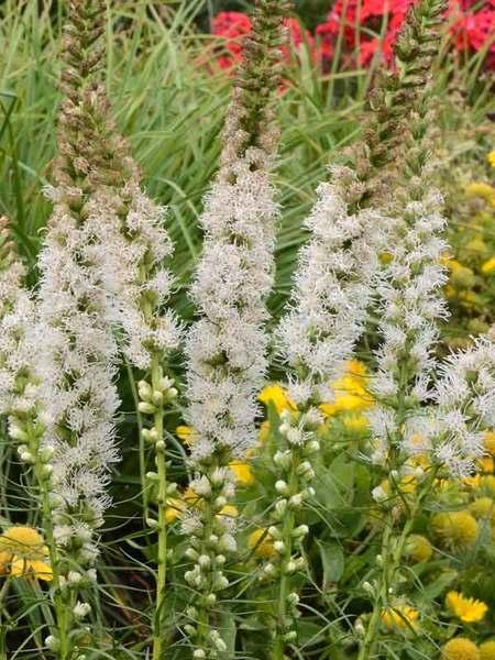 25 Drought Resistant Perennials Floristan White Liatris #Garden #Gardening #Landscaping #DroughtResistant #DroughtTolerant #Perennials #DroughtResistantPerennials