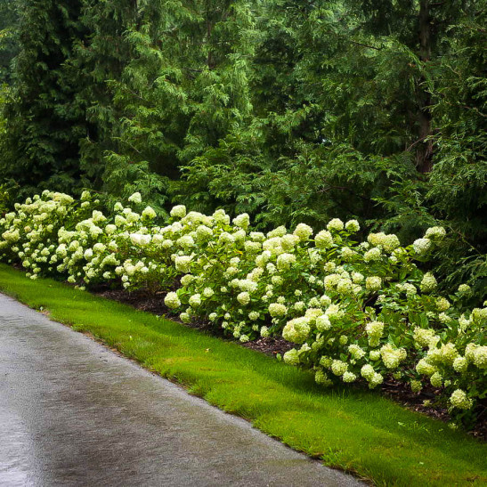 8 Heavenly Hydrangeas Little Lime Hydrangea #TheTreeCenter #Gardening #Hydrangeas #LittleLimeHydrangea #SummerBloomingShrubs #Shrubs