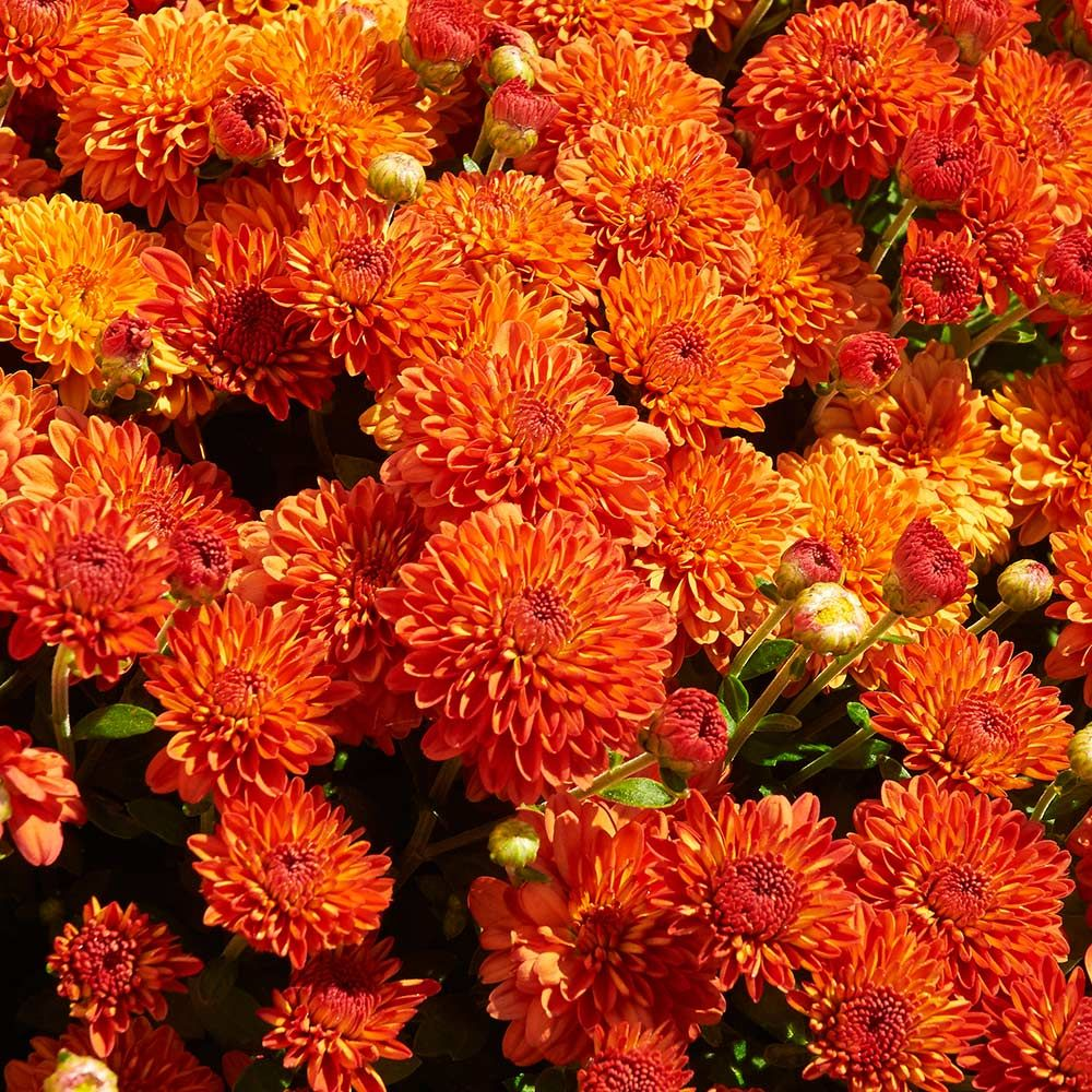 9 Plants That Repel Bugs Naturally Chrysanthemums Harvest Igloo #Organic #Natural #BugRepellantPlants #WhiteFlowerFarm #Chrysanthemums