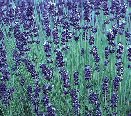 9 Plants That Repel Bugs Naturally Lavender Hidcote #WhiteFlowerFarm #Organic #Natural #BugRepellingPlants #Lavender #Gardening