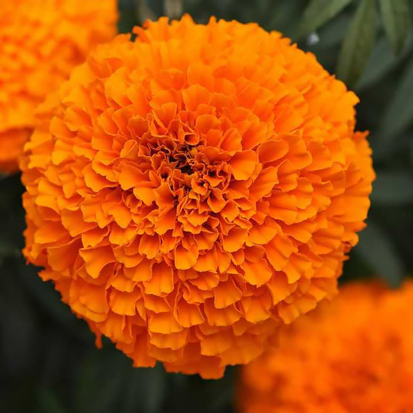 9 Plants That Repel Bugs Naturally Marigold Garland Orange #Organic #Natural #BugRepellingPlants #MarigoldGarlandOrange #SwallowtailGardenSeeds #Patio #Porch #Deck