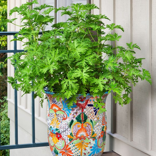 9 Plants That Repel Bugs Naturally Mosquito Plant Citronella #Citronella #Organic #Natural #BugRepellantPlants #MosquitoPlant #Patio #Porch #Balcony