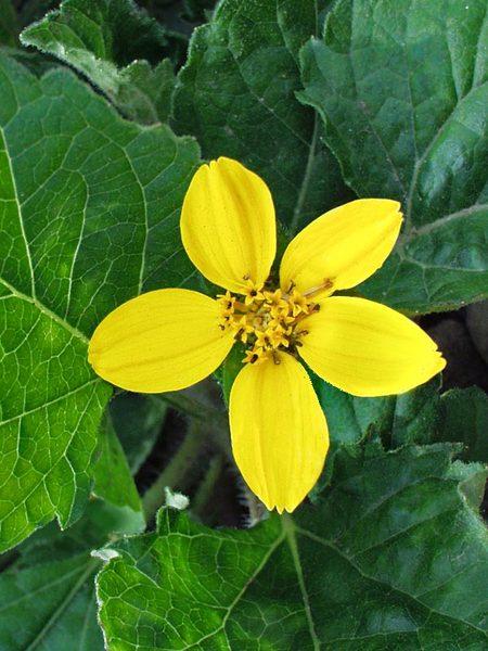 24 Spectacular Shade Garden Perennials Chrysogonum Pierre or Golden Star
