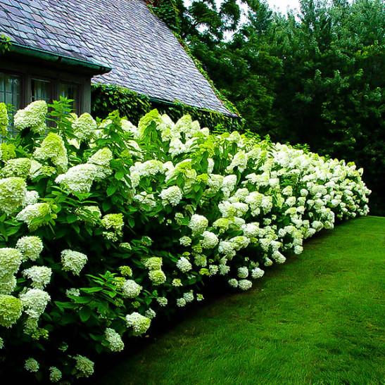 8 Heavenly Hydrangeas Hydrangea Limelight #TheTreeCenter #Gardening #Hydrangea #Organic #LimelightHydrangea