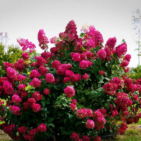8 Heavenly Hydrangeas Firelight Hydrangea #TheTreeCenter #FireLightHydrangea #Gardening #Hydrangeas #Organic #Shrubs