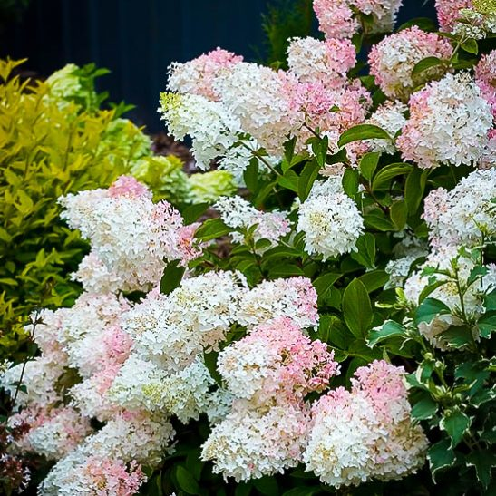8 Heavenly Hydrangeas Little Lamb Hydrangea #Organic #Hydrangea #Gardening #LittleLambHydrangeas #TheTreeCenter