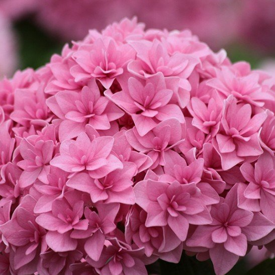 8 Most Popular Hydrangeas That Gardeners Love
