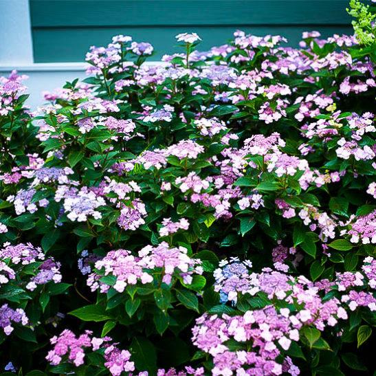 8 Heavenly Hydrangeas Tiny Tuff Stuff Mountain Hydrangea #TinyTuffStuffHydrangea #TheTreeCenter #Hydrangeas #Gardening #Organic #Shrubs