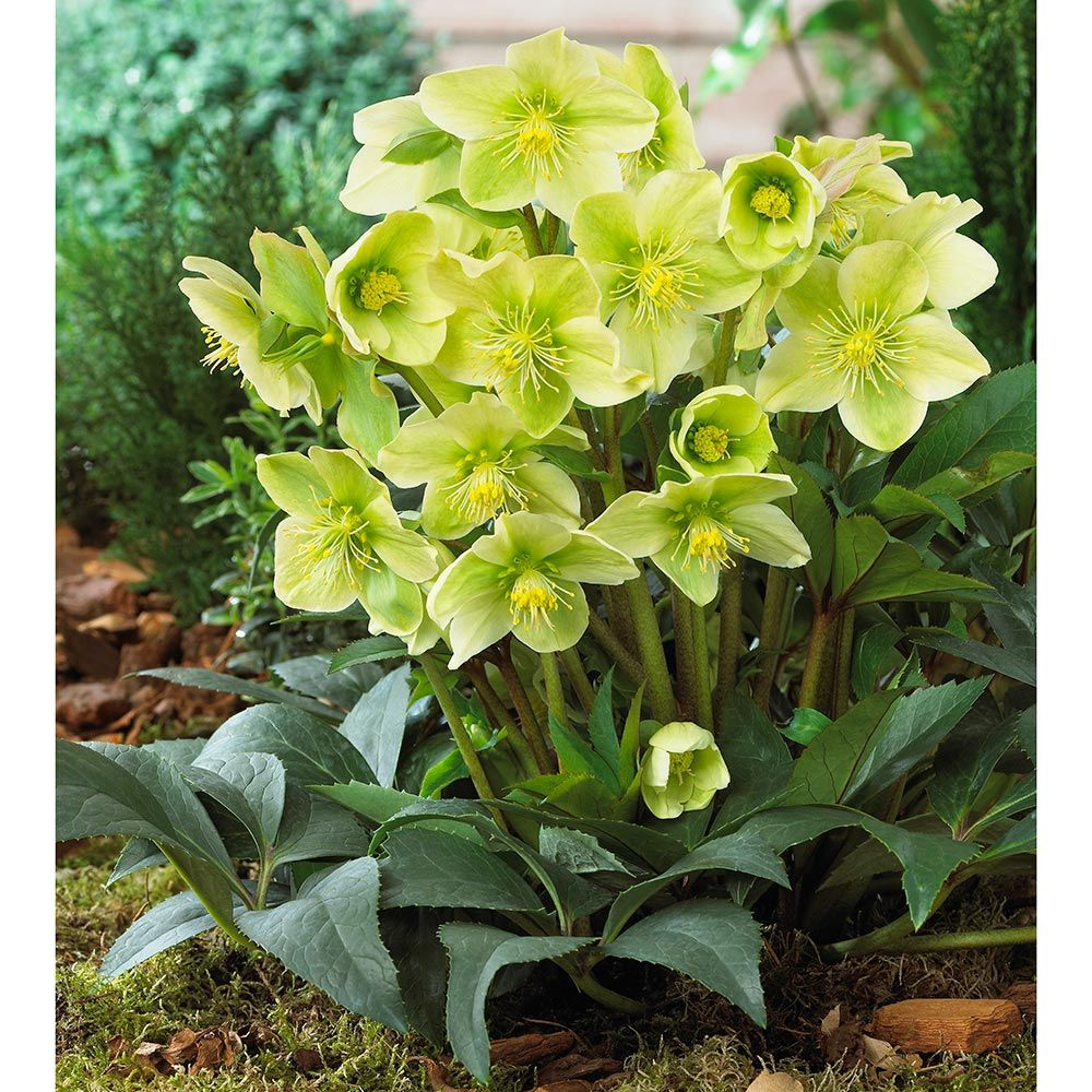 24 Spectacular Shade Garden Helleborus Winter Magic Snow Love #ShadeGarden #ShadePerennials #WhiteFlowerFarm #HelleborusWinterMagic #Organic #DeerResistantPlants