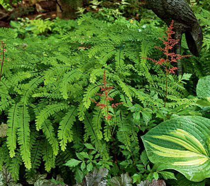 24 Spectacular Shade Garden Perennials Adiantum Pedatum Maidenhair Fern #ShadeGarden #ShadePerennials #DeerResistantPlants #WhiteFlowerFarm #Organic