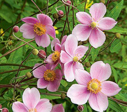 24 Spectacular Shade Garden Perennials Anemone Xhybrida Robustissima #ShadeGarden #ShadePerennials #DeerResistantPlants #WhiteFlowerFarm #Organic