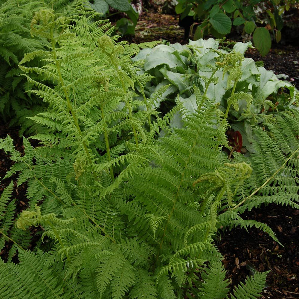 24 Spectacular Shade Garden Perennials Athyrium Filix Femina Lady Fern #ShadeGarden #ShadePerennials #DeerResistantPlants #WhiteFlowerFarm #Organic
