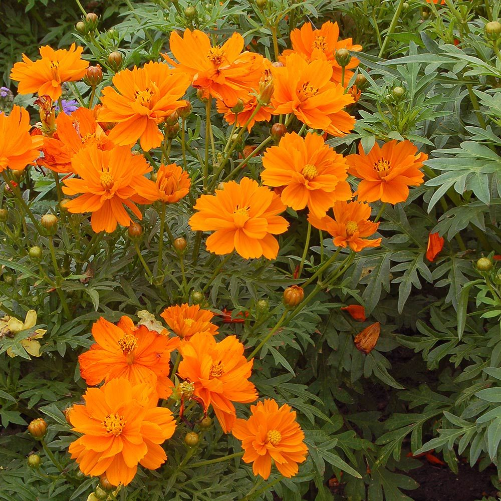 24 Spectacular Shade Garden Perennials Cosmos Sulphureus Cosmic Orange