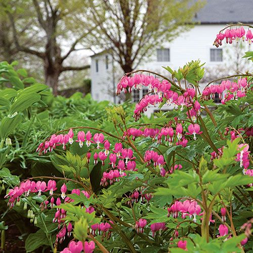 24 Spectacular Shade Garden Perennials Dicentra Spectabilis #ShadeGarden #ShadePerennials #DeerResistantPlants #WhiteFlowerFarm #BleedingHeart