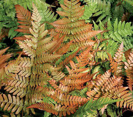 24 Spectacular Shade Garden Perennials Dryoteris Erythrosora Brilliance Autumn Fern #ShadeGarden #ShadePerennials #DeerResistantPlants #WhiteFlowerFarm #Organic