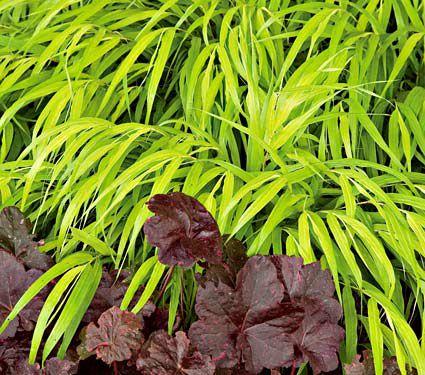 24 Spectacular Shade Garden Perennials Hakonechloa Macra All Gold #ShadeGarden #ShadePerennials #DeerResistantPlants #WhiteFlowerFarm #Organic