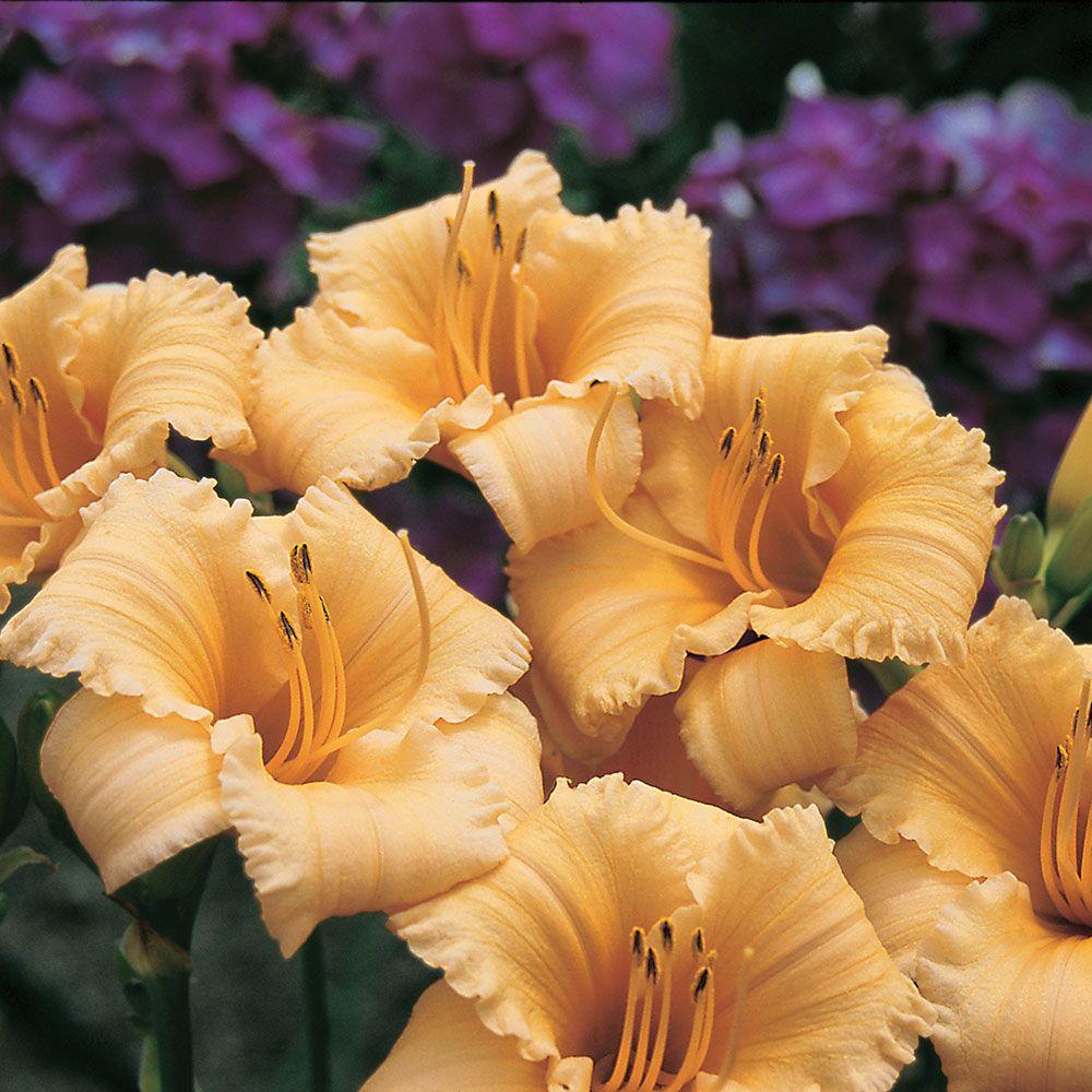 24 Spectacular Shade Garden Perennials Hemerocallis Daylily Apricot Sparkles Reblooming #ShadeGarden #ShadePerennials #WhiteflowerFarm #organic #Daylily