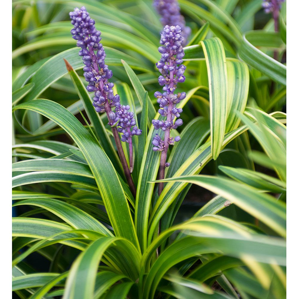 24 Spectacular Shade Garden Perennials Liriope Muscari Variegata #ShadeGarden #ShadePerennials #DeerResistantPlants #WhiteFlowerFarm #Organic