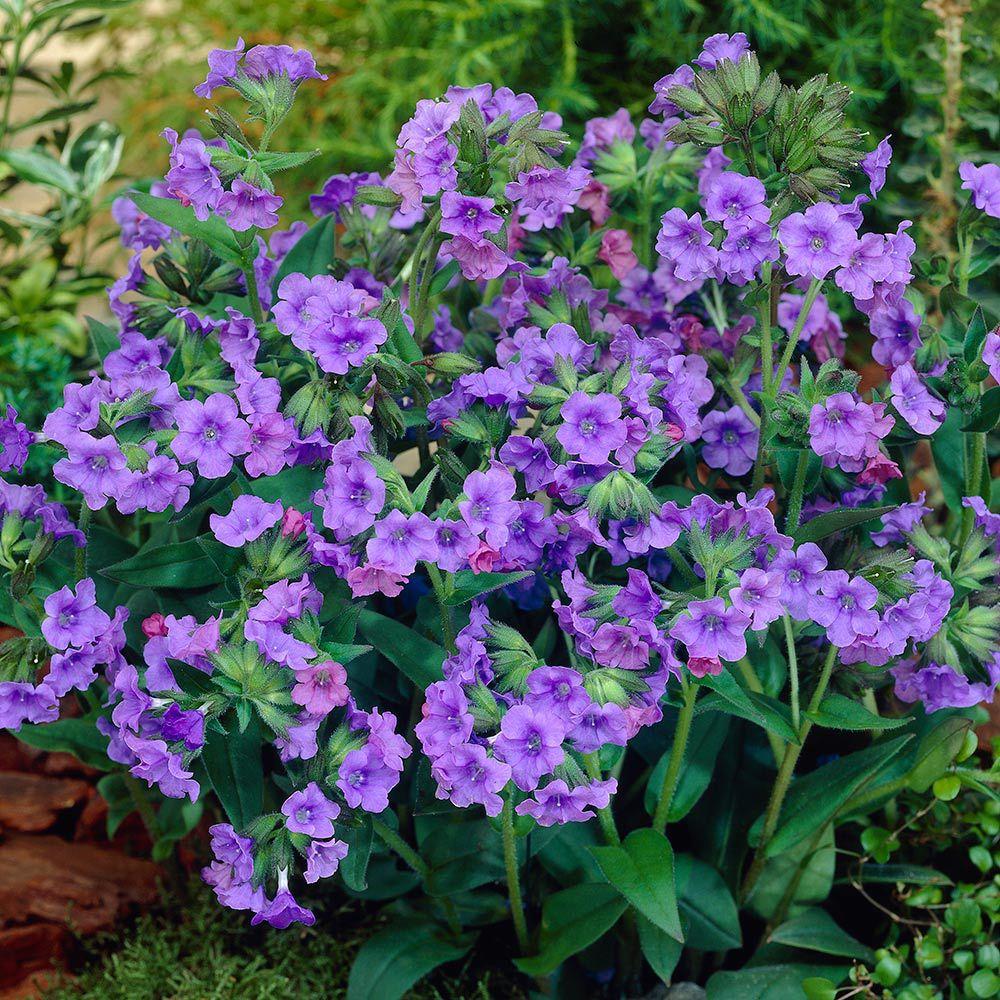 24 Spectacular Shade Garden Perennials Pulmonaria Blue Ensign #ShadeGarden #ShadePerennials #DeerResistantPlants