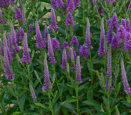 24 Spectacular Shade Garden Perennials Veronica Very Van Gogh #ShadeGarden #ShadePerennials #DeerResistantPlants #WhiteFlowerFarm #Organic