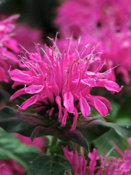 16 Perennials That Attract Hummingbirds to Your Garden! Balmy Rose Monarda #Perennials #Garden #Gardening #Landscape #PerennialsForHummingbirds #Hummingbirds #Pollinators #GardenPollinators