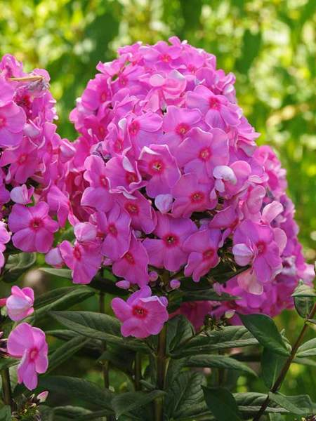 16 Perennials That Attract Hummingbirds to Your Garden! Cosmopolitan Phlox #Perennials #Garden #Gardening #Landscape #PerennialsForHummingbirds #Hummingbirds #Pollinators #GardenPollinators