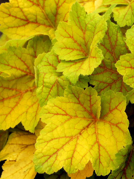 16 Perennials That Attract Hummingbirds to Your Garden! Electra Heuchera #Perennials #Garden #Gardening #Landscape #PerennialsForHummingbirds #Hummingbirds #Pollinators #GardenPollinators